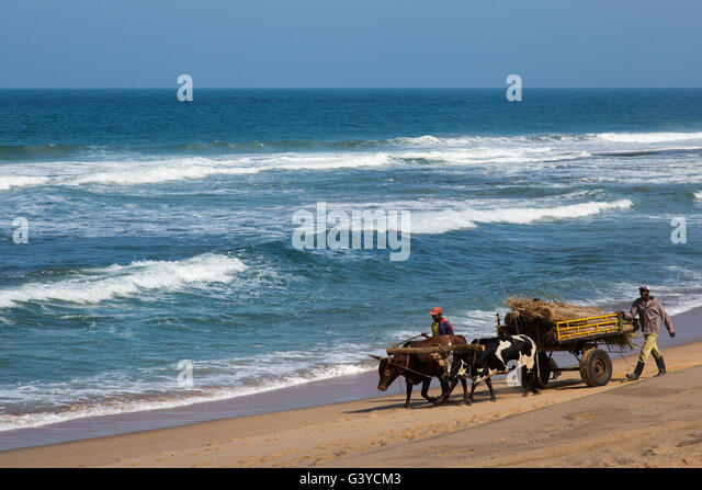 Locals driving their ox wagon and trailer loaded  with reeds harvested for use as building material along a Mozambique - Stock Image