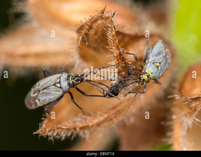 Capsid bug (Macrotylus herrichi), females suck captured spider on Salvia pratensis, Germany - Stock Image