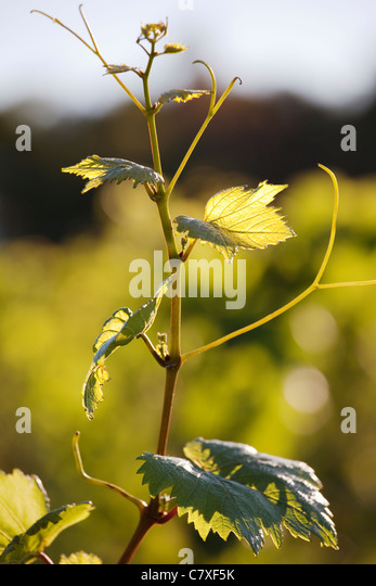 Canada,Ontario, Niagara Region,grape tendril - Stock Image