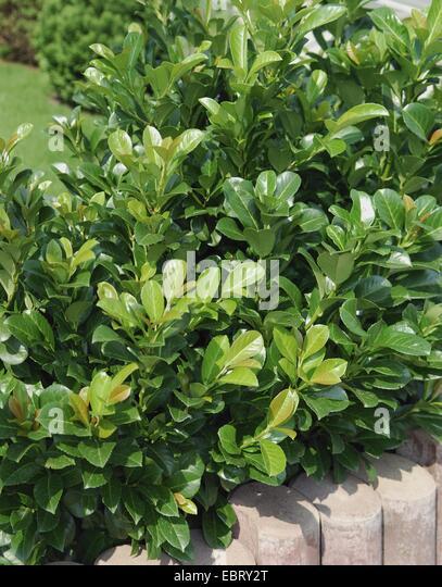 laurel bush stock photos laurel bush stock images alamy. Black Bedroom Furniture Sets. Home Design Ideas