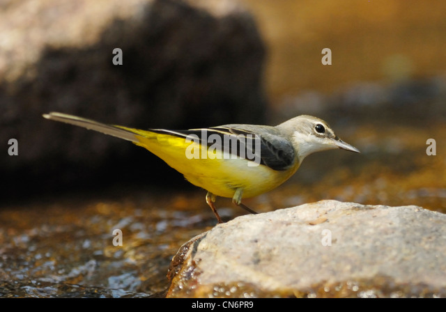Grey Wagtail (Motacilla cinerea) searching for food in a forest stream - Stock-Bilder