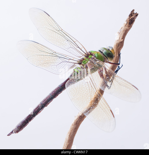 dragonfly close up - Stock Image
