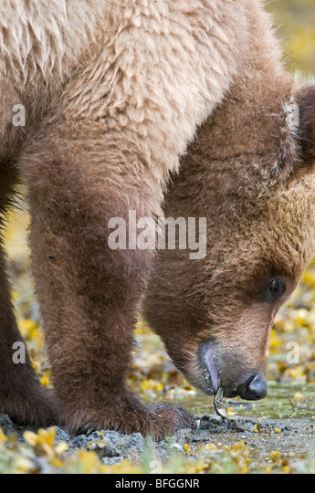 Grizzly Bear (Ursus arctos horribilis) hunts and finds clams on coastline of Khutzeymateen Grizzly Bear Sanctuary - Stock Image