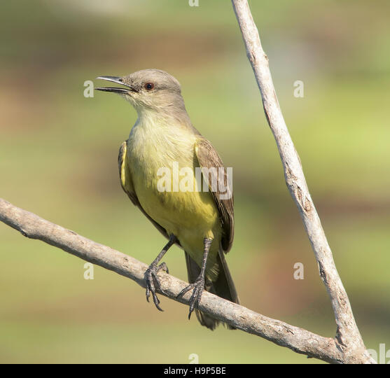 Cattle Tyrant (Machetornis rixosa) perched soft background - Stock Image