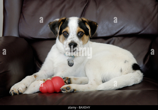 Cute mixed breed puppy - Stock Image