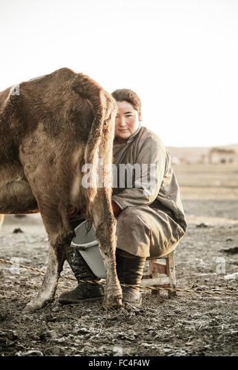 Nomadic Mongolian woman milking a cow early in the morning - Stock Image