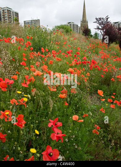 A display of poppies in an urban area with a church and apartment blocks in the background - Stock Image