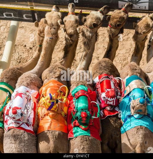 starting gate at camel racing festival at Al Marmoum camel racing racetrack in Dubai United Arab Emirates - Stock Image