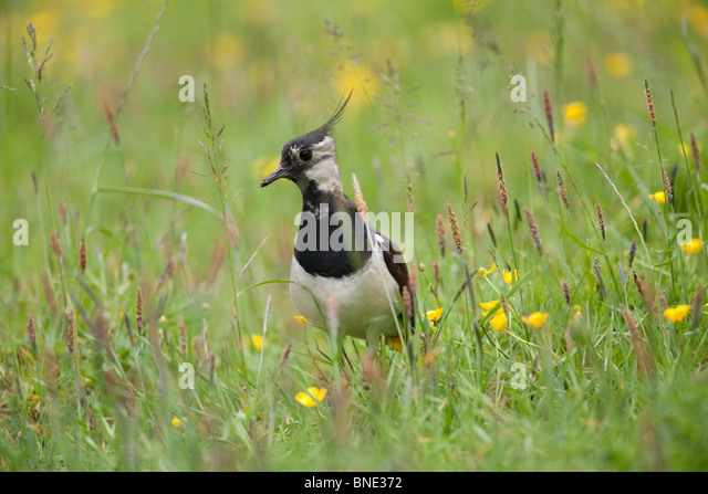 Lapwing in a field of buttercups. - Stock Image