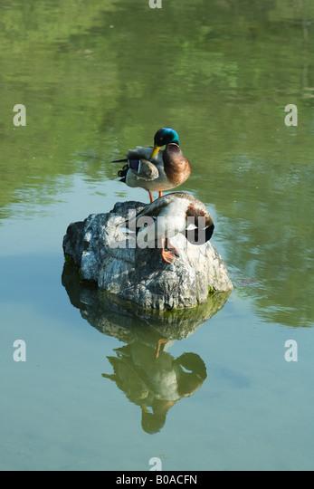 Mallard ducks preening on rock in pond - Stock Image