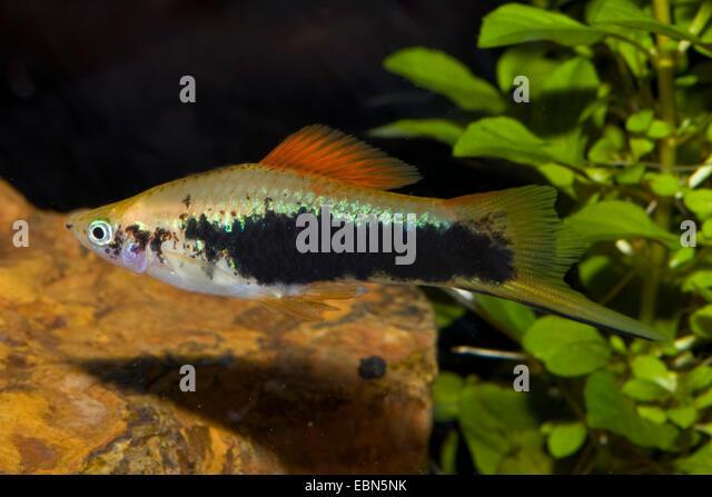 Xiphophorus Stock Photos & Xiphophorus Stock Images - Alamy