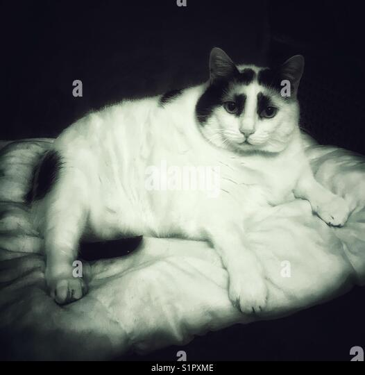 Black and white of tabby cat laying on a pillow. - Stock Image