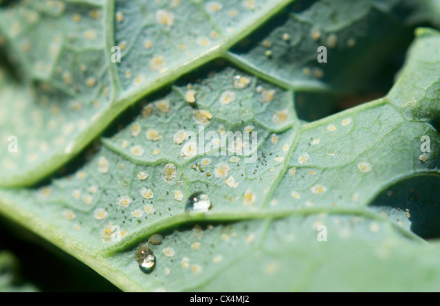 Eggs of the cabbage whitefly (Aleyrodes proletella) on a kale leaf. - Stock Image