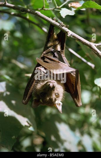Bat Kenya East Africa Africa - Stock Image