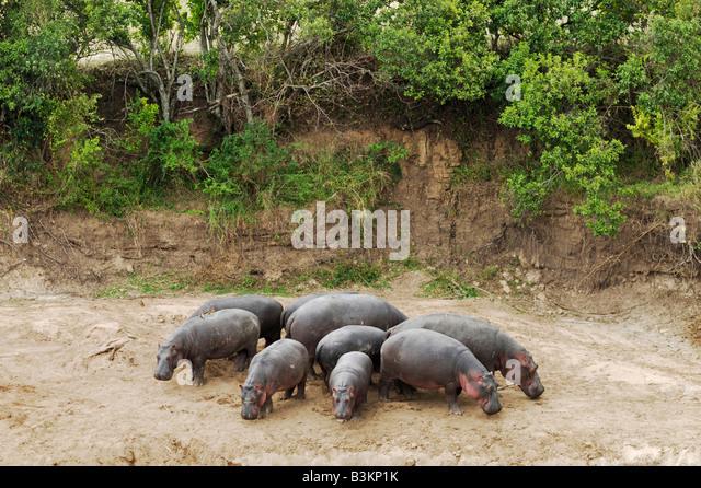 Hippopotamus Hippopotamus amphibius group in defense formation Masai Mara Kenya Africa - Stock-Bilder