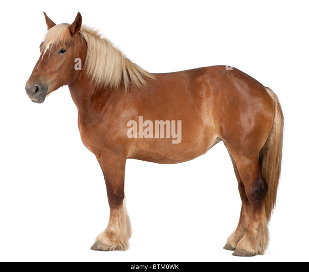 Belgian horse, Belgian Heavy Horse, Brabancon, a draft horse breed, 4 years old, standing in front of white background - Stock Image