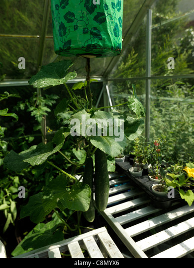 Hanging Upside Down Cucumbers Growing In Greenhouse - Stock Image