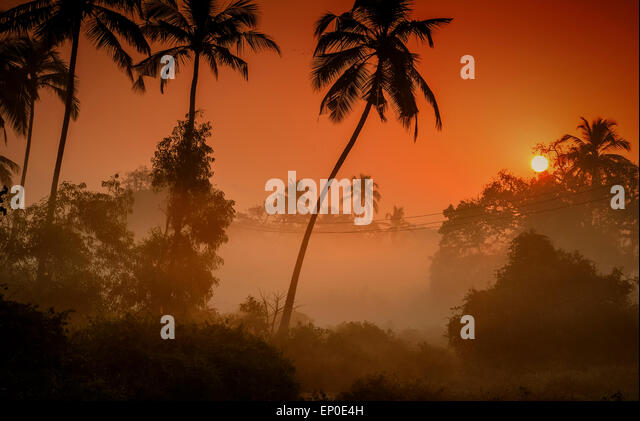Palm Trees silhouetted against a foggy sunrise in the village of Tamborim, Goa, India - Stock Image