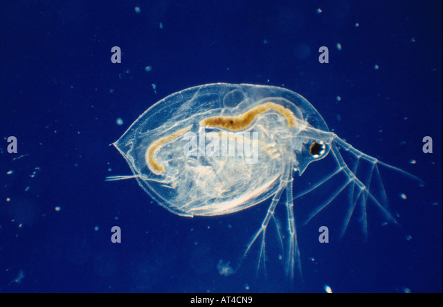 ... preying on water flea germany common water flea daphnia longispina