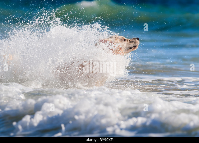 dog running into the sea - Stock Image