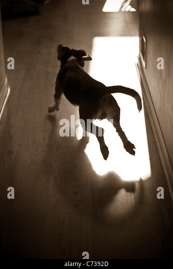 A silhouette of a young beagle pup running through the house. - Stock-Bilder