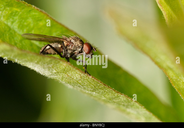 Fly on leaf. Diptera - Stock Image