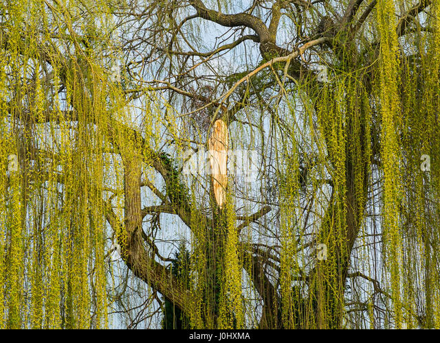 Scar on trunk of Willow tree from fdallen branch. - Stock Image