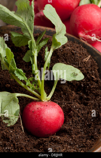 Fresh radish in soil and bunch of fresh radishes - Stock Image