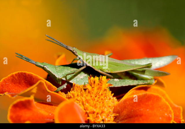 Pair of Grasshoppers mating India - Stock-Bilder