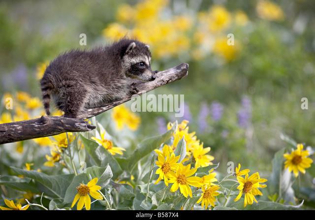 Baby raccoon (Procyon lotor) in captivity, Animals of Montana, Bozeman, Montana, United States of America, North - Stock Image