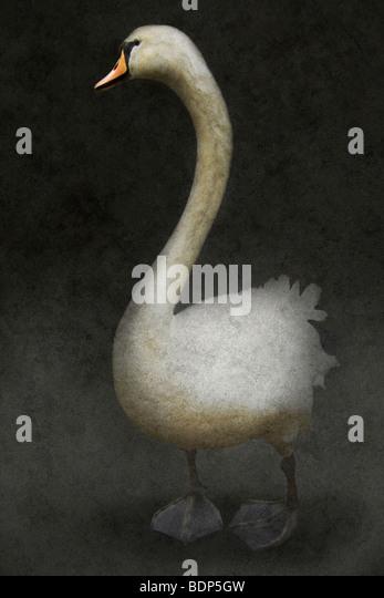 white swan standing alone against a dark ackground - Stock-Bilder