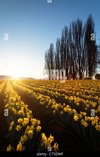 Poplar row and field of yellow daffodils at sunrise, Skagit Valley, Mount Vernon, Skagit County, Washington, USA - Stock Image