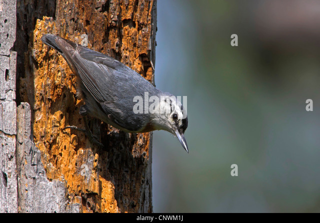 krueper's nuthatch (Sitta krueperi), upside down at a trunk, Greece, Lesbos - Stock Image