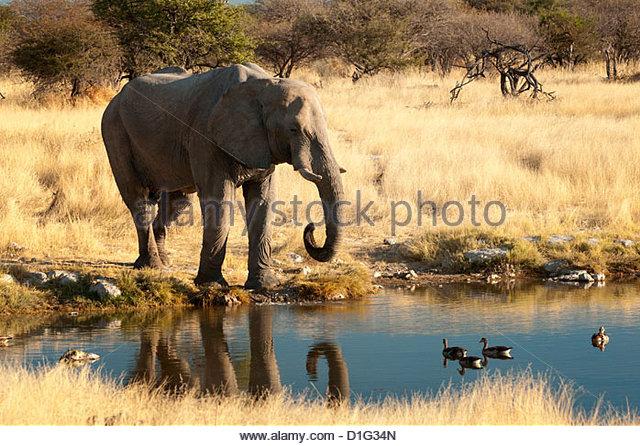 African elephant (Loxodonta africana) at water hole, world's largest land animal, Etosha National Park, Namibia, - Stock Image