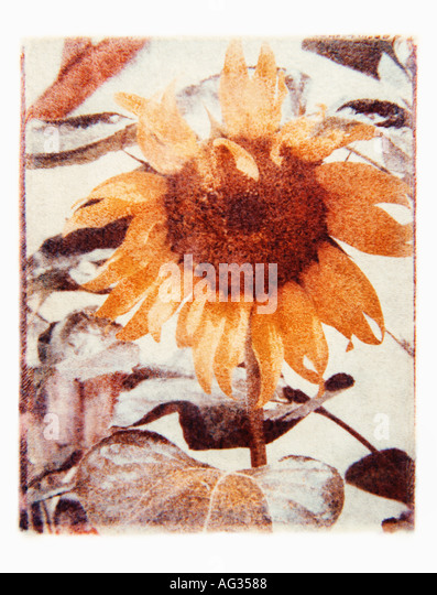 Polaroid transfer image of sunflower - Stock Image