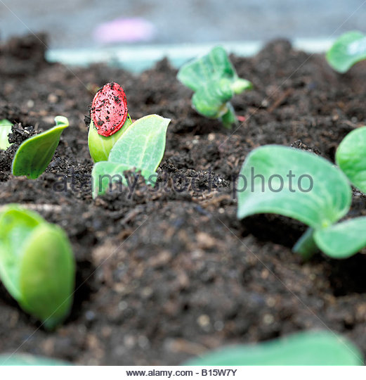 Zucchini seedlings, detail - Stock Image