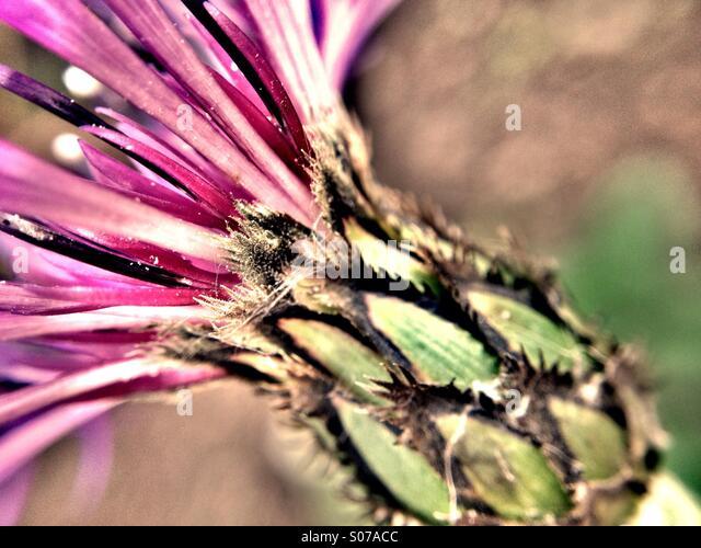 Purple knapweed flower - Stock Image