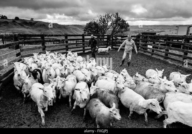 sheep ranch black single men Wrangler needed in colorado  posted in  palisade ranch at gateway canyons resort and spa is looking for professional men and women to join our  sheep ranch jobs.
