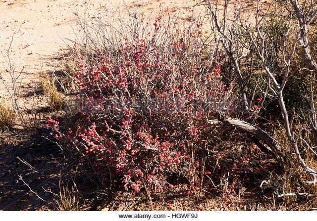 Desert Christmas Cactus Stock Photos Amp Desert Christmas