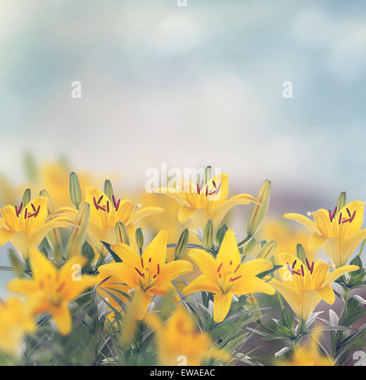Yellow Lily Flowers Blossom in The Garden - Stock Image
