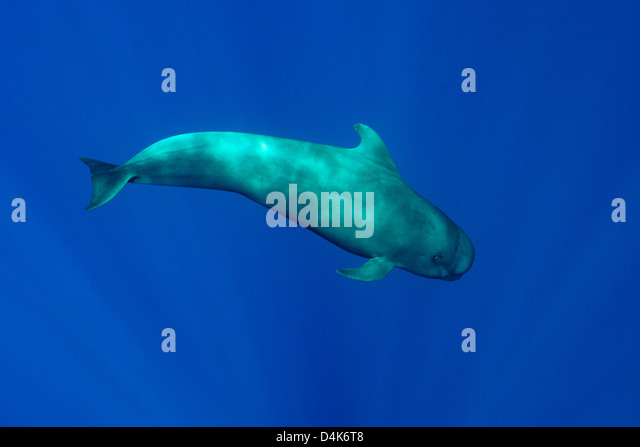 Pilot whale swimming underwater - Stock Image