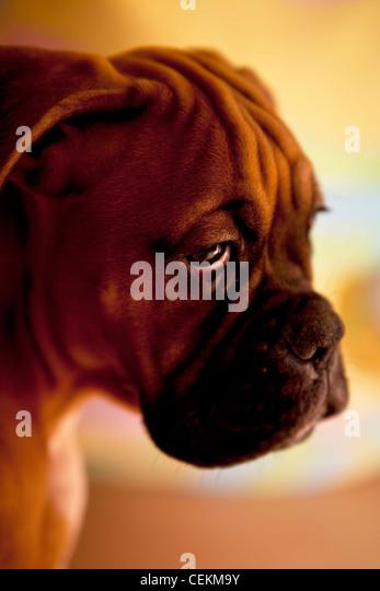 german boxer - sad dog with very sad eyes - Stock Image