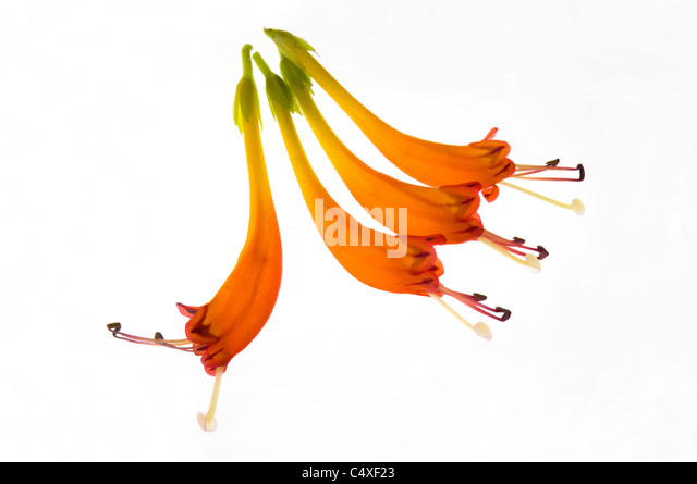 Four flowering blooms of a lipstick or Aeschynanthus plant showing anthers and filaments at ends of orange petals - Stock Image