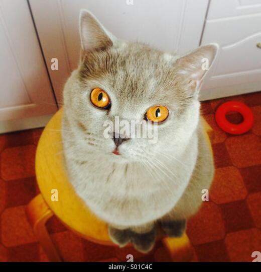 British shorthair cat - Stock Image
