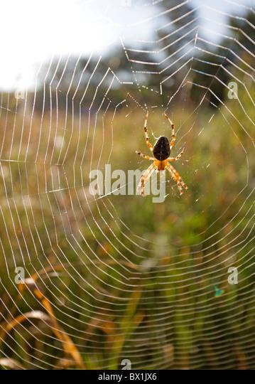 Garden spider in a meadow - Araneus diadematus - Stock-Bilder