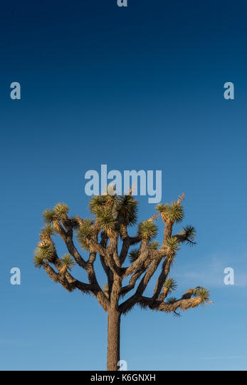 Top of Joshua Tree on Blue Sky with copy space above - Stock Image