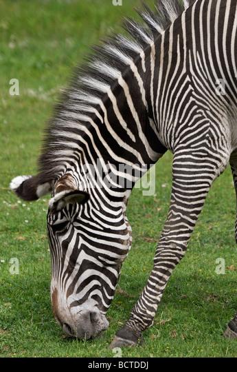 Zebra (equus quagga) - Stock Image