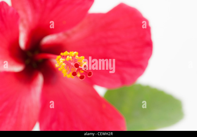Hibiscus Rosa Sinensis. Red Hibiscus flower on white background - Stock Image