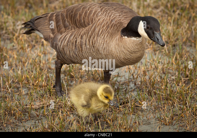 A mother Canada goose watches over her gosling near a pond in Anchorage, Southcentral Alaska, Summer - Stock Image