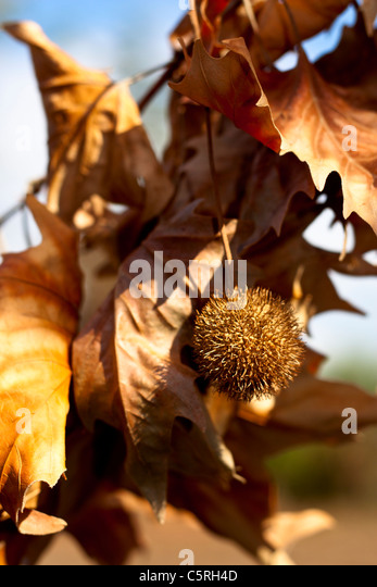 Plane Tree Branch with Fruit and Yellow Leaves - Stock Image